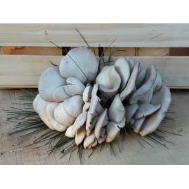 Funghi Pleurotus